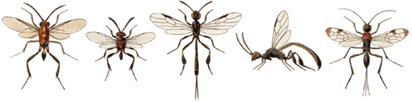 New World evanioid wasps
